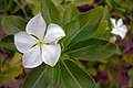 Angiosperms in iran گلها و گیاهان گلدار ایرانی 31.jpg