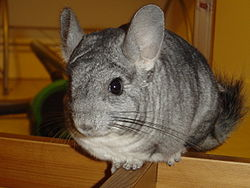 Animal chinchilla.JPG