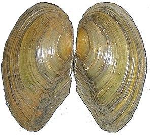 Gemeine Teichmuschel (Anodonta anatina)