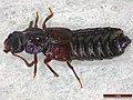 Anotylus rugosus (42437346634).jpg