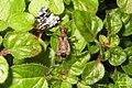 Ant damsel bug (BG) (13101554105).jpg