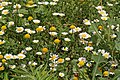 Anthémis fausse camomille-Anthemis arvensis-20160617.jpg
