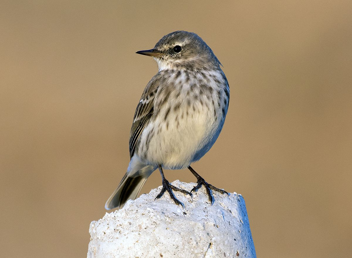 Water pipit wikipedia for H2o wikipedia
