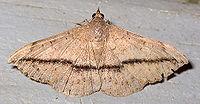 Anticarsia gemmatalis.jpg