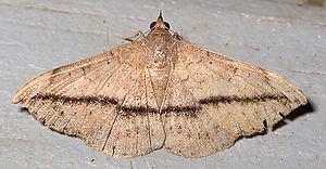 Anticarsia gemmatalis - Image: Anticarsia gemmatalis