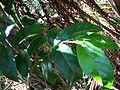 Antidesma platyphyllum var. playphyllum (5210277366).jpg