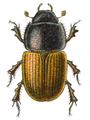 Aphodius erraticus.png