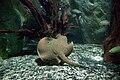 Aquarium tropical du Palais de la Porte Dorée - Potamotrygon castexi.jpg