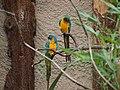 Ara glaucogularis -Chester Zoo, England-8a (1).jpg