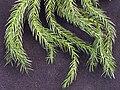 Araucaria heterophylla20090409 25.jpg
