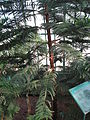 Araucaria luxurians 01 by Line1.JPG