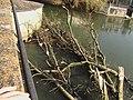 Arbre arraché par la crue du Clain, mars 2007, Poitiers.JPG