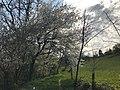 Arbres en fleurs sur les coteaux de Pamiers.jpg
