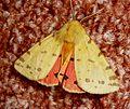 Arctiidae Arctiinae Arctiini Rhyparia purpurata (Linnaeus, 1758) Purple Tiger - Flickr - gailhampshire.jpg