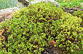 Arctostaphylos pumila 1.jpg
