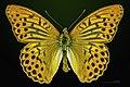 Argynnis paphia MHNT CUT 2013 3 24 PONT GERENDOINE Male Dorsal.jpg