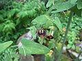 Aristolochia debilis1.jpg