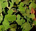 Aristolochia fimbriata in Jardin des Plantes de Toulouse 01.jpg