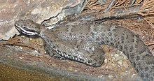 Arizona ridgenosed rattlesnake closeup.jpg