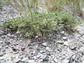 Artemisia arbuscula (5143705489).jpg
