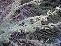 Artemisia californica 002 — Franco Folini.jpg