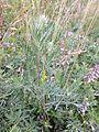 Artemisia pancicii sl27.jpg