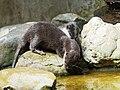 Artis Otters (35735403923).jpg