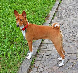 """Al Basenji también se le ha llamado """"Belgian Congo Dog"""""""