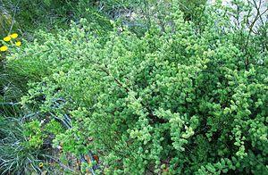 Asparagus rubicundus - Image: Asparagus rubicundus Greyton South Africa 4