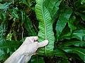 Asplenium scolopendrium ssp. scolopendrium 20150705 110346 (18816757464).jpg
