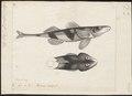 Aspro vulgaris - 1774-1804 - Print - Iconographia Zoologica - Special Collections University of Amsterdam - UBA01 IZ12900111.tif