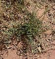 Astragalus remotus 5.jpg