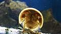 Atlantic horseshoe crab (Limulus polyphemus) (4).jpg