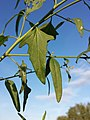 Atriplex oblongifolia sl9.jpg