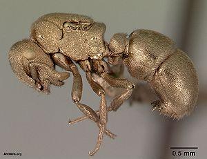Sputter deposition - Sputter-coated ant specimen (Aulacopone relicta) for SEM examination.