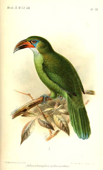 Groove-billed toucanet - Subspecies A. s. erythrognathus, illustration by Keulemans, 1891