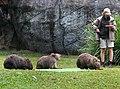 Australia Zoo Wombats-1and (3706177573).jpg
