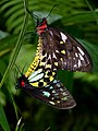 Australian Butterfly Sanctuary in Kuranda.jpg
