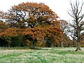 Autumn Oak, by Burwarton Park, Shropshire - geograph.org.uk - 607267.jpg