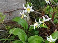 Avalanche Lily (c1f92f483eb44969b80c27577f433891).JPG