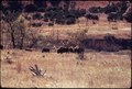 BUFFALO HERD ON BELL RANCH - NARA - 546123.tif