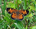 Backyard Butterfly (2715574134).jpg