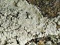 Baeomyces carneus Flörke 238099.jpg