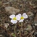 Baldellia ranunculoides (cropped).jpg