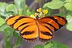 Banded orange heliconian (Dryadula phaetusa) female.jpg