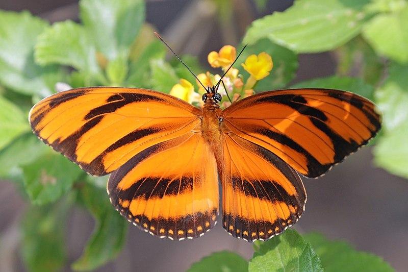 Bộ sưu tập cánh vẩy 4 - Page 46 800px-Banded_orange_heliconian_%28Dryadula_phaetusa%29_female