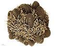 Banksia caleyi MHNT.BOT.2008.11.37.jpg