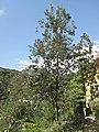 Banksia integrifolia (Serres de la Madone).jpg