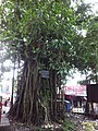 Banyan tree in jaintapur.jpg