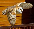 Barn Owl 2a (7637607840).jpg